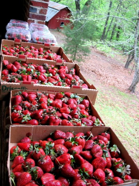 1-pike co strawberries strawberry patch