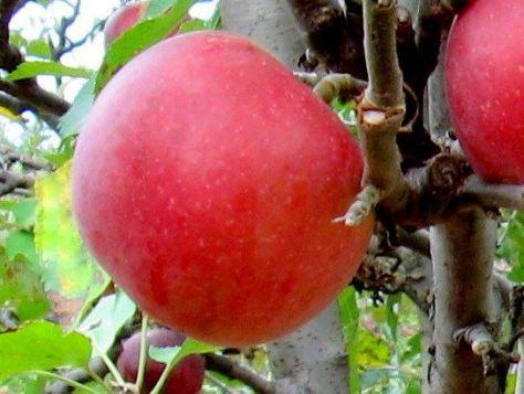 holland apple farm 2