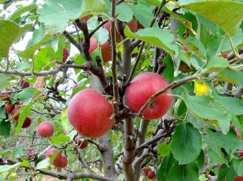 holland apple farm  arkansas black