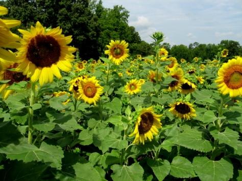 July 19, 2012 Georgia Grown Sunflowers
