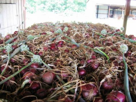 onions 5
