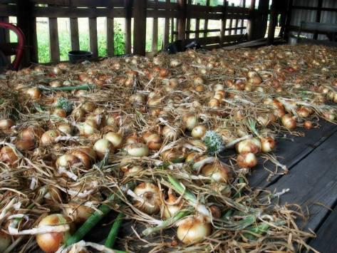 onions 8