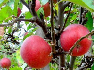 farmer holland yates apples